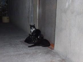 Մեր տան դռան մոտ ինչպես միշտ կատուներ կան հավաքված