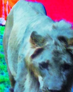 Captive-Lion-Zanesville-exotic-animal-tragedy-Digital-art