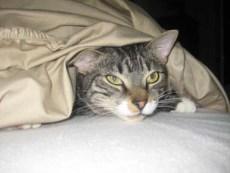 Tabby Cat Under Blanket