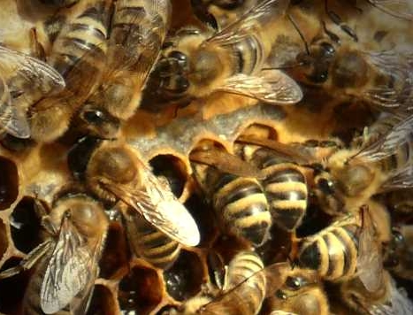 Fipronil: Betrifft nicht nur Eier sondern auch Bienen!