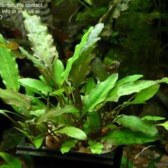 Office Chair Penang Red Cushions Cryptocoryne Wendtii Green (pot) Aq (end 10/8/2018 12:15 Am)