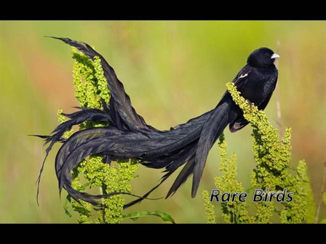 Bird Of Paradise Hd Wallpaper Rare Birds Beauty In Its Peak Pictures Pictures