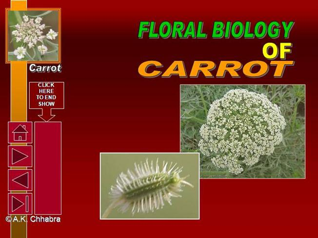 carrot plant diagram nissan navara wiring d22 flower structure of authorstream