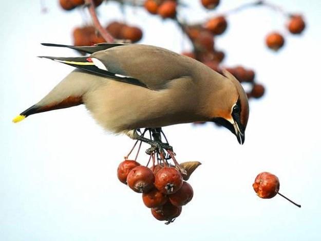 امریکا میں پرندے نشہ آور جنگلی بیریاں کھا کر مدہوش ہورہے ہیں (فوٹو: بورڈ پانڈا)