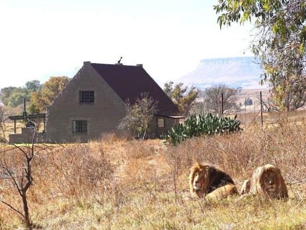 افریقی شیروں میں گھرا مکان سیاحوں میں دلچسپی کی وجہ بن رہا ہے۔ فوٹو: جی جی کنزرویشن