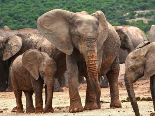 افریقی ہاتھیوں کی تعداد تیزی سے کم ہورہی ہے لیکن رون تھامپسن جیسے شقی القلب شکاریوں کو ان کے قتلِ عام پر کوئی شرمندگی نہیں (فوٹو: فائل)