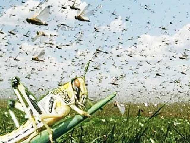 ٹڈی دل سے متاثرہ کسانوں کو پیکیج کے ذریعے معاوضہ دینے کا فیصلہ