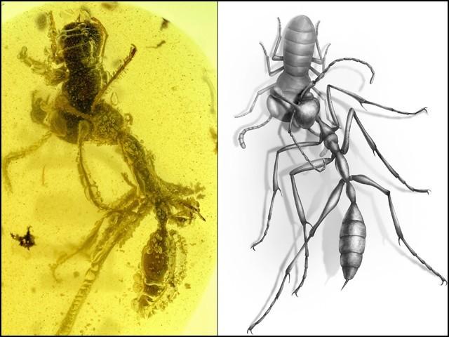 شفاف عنبر میں 10 کروڑ سال سے قید 'جہنمی' چیونٹی کی دریافت
