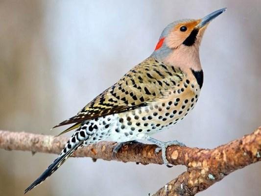 شمالی اور وسطی امریکا کے اس کھٹ بڑھئی کو مشین گن پرندہ بھی کہا جاتا ہے۔ فوٹو: فائل