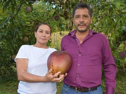 کولمبیا میں دنیا کا سب سے بڑا آم اگایا گیا ہے جس کا وزن سواچارکلوگرام تک ہے۔ فوٹو: یو پی آئی