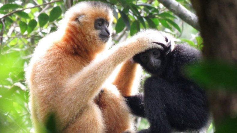Female Hainan Gibbon