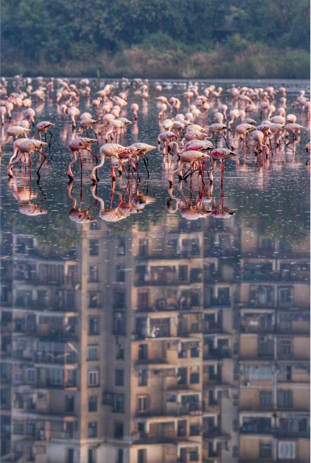 A flock of flamingos feed in water with a block of flats reflected in the background