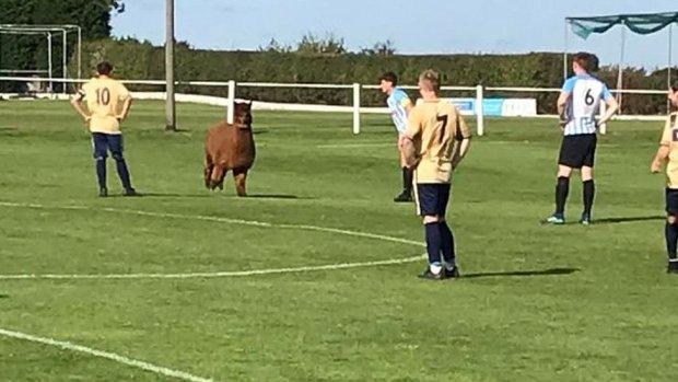 Alpaca on the pitch