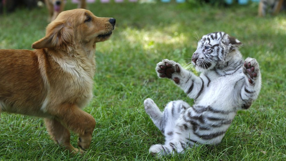 Cute Animals Playing Soccer Wallpaper Las Tiernas Fotograf 237 As De Tres Cachorros De Tigre Le 243 N Y