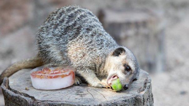 Una suricata come comida congelada en el zoológico de Londres.