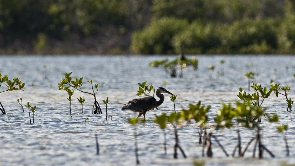 En los pantanos de Quintana Roo se promueve la cría de cocodrilos.