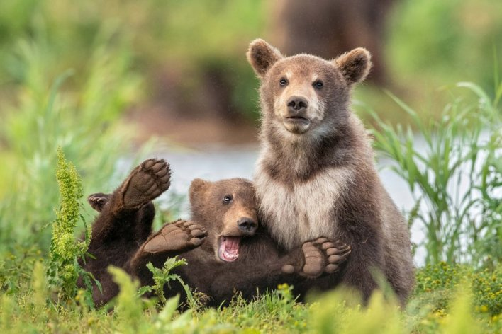 Two bears, one playing around and one looking grumpy (Foto via www.comedywildlifephoto.com)