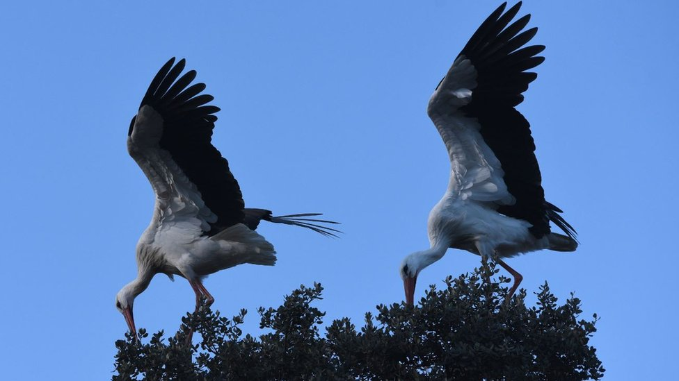 White storks seen in Madrid