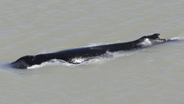 The humpback whale was found in the East Alligator River in Kakadu National Park