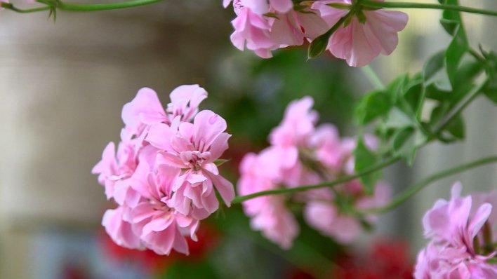 98122253 flower - The gardener of Kabul