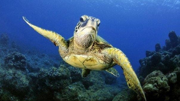Una tortuga marina en Hawái.