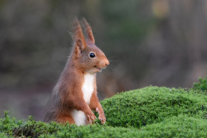 A red squirrel appearing to be chortling (Foto via www.comedywildlifephoto.com)