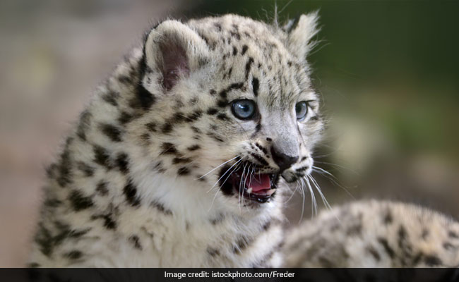 Two Leopard Cubs Found Dead In Maharashtra District: Officials