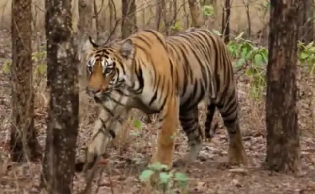 मध्य प्रदेश के पन्ना टाइगर रिजर्व में मृत मिली बाघिन;  10 दिनों में चौथी मौत