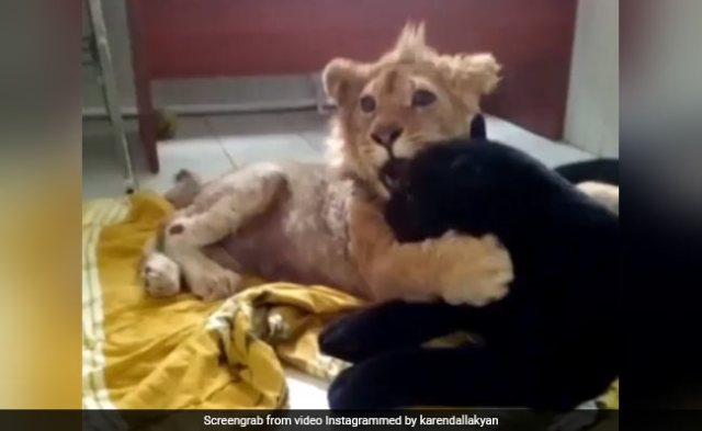 Lion Cub Learns To Walk Again After Its Legs Were Broken To Prevent Escape