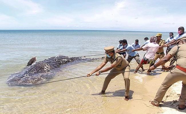 Carcass Of 18-Feet-Long Whale Shark Washes Up On Tamil Nadu Beach