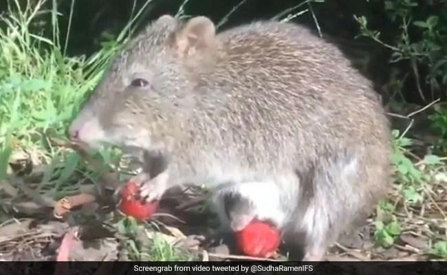 कंगारू की तरह अपने बच्चे को पेट की थैली में रखता है यह चूहा, मां के साथ बच्चे का स्ट्राबेरी खाते वीडियो वायरल