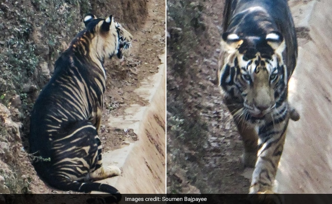 Scientists Unravel Mystery Behind Odisha's Rare, Endemic 'Black Tigers'