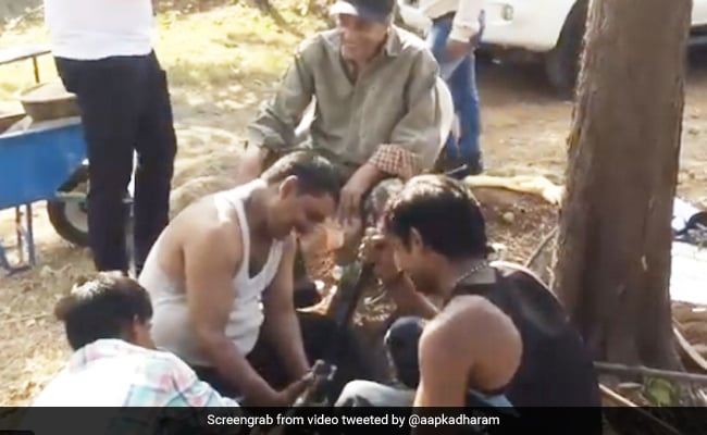 Dharmendra was seen working with the laborers at the farm house, said - We enjoy this way ... See Video