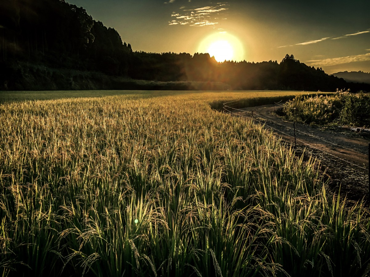 Full Hd Wallpapers For Iphone 4 Free Images Rice Field Sunset Sun Sky Atmosphere