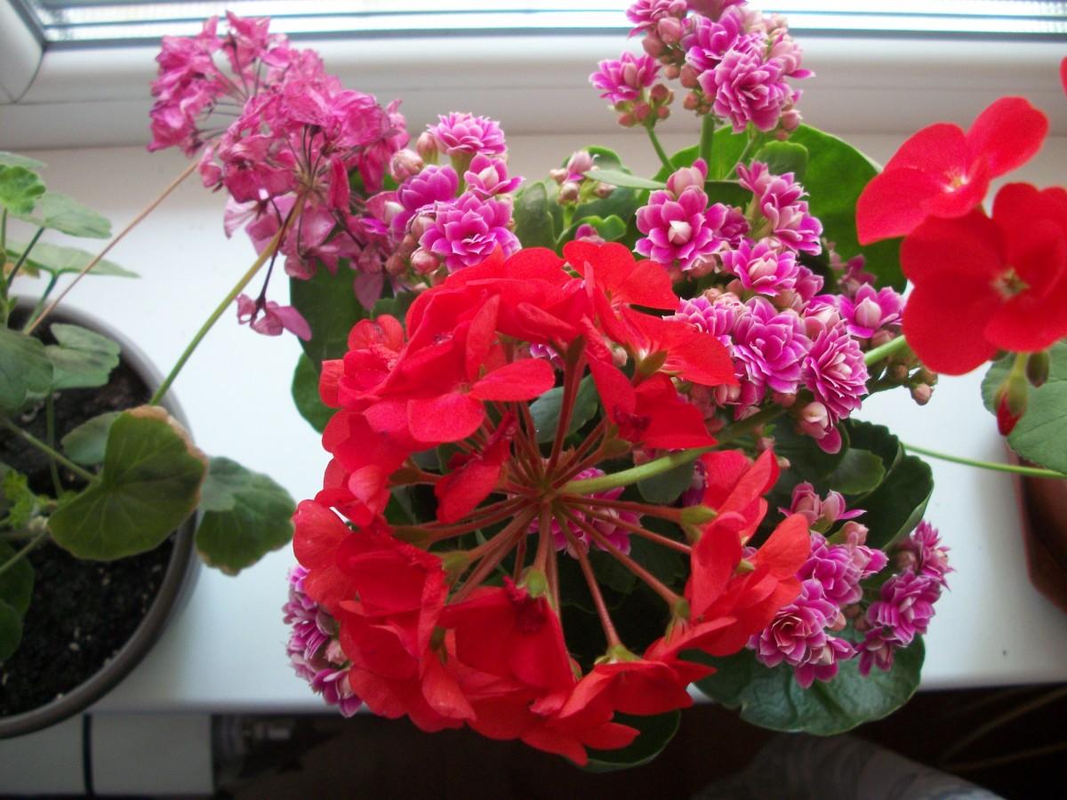 Gratis billeder  blomster vindueskarmen blomst lyserd