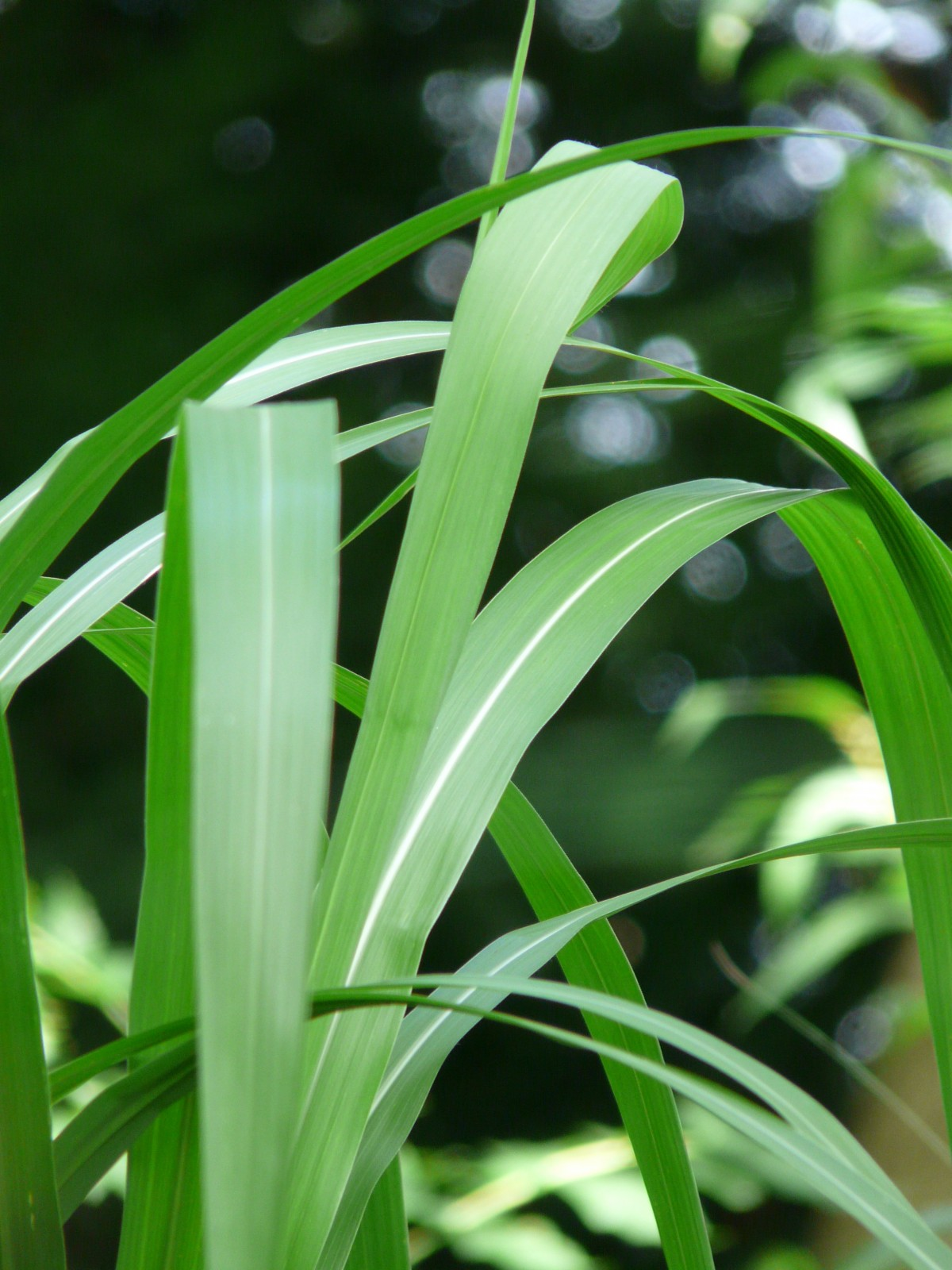 Gambar  menanam daun bunga Buluh hijau botani Flora
