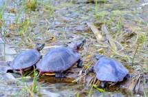 Free Images sea turtle reptile fauna vertebrate