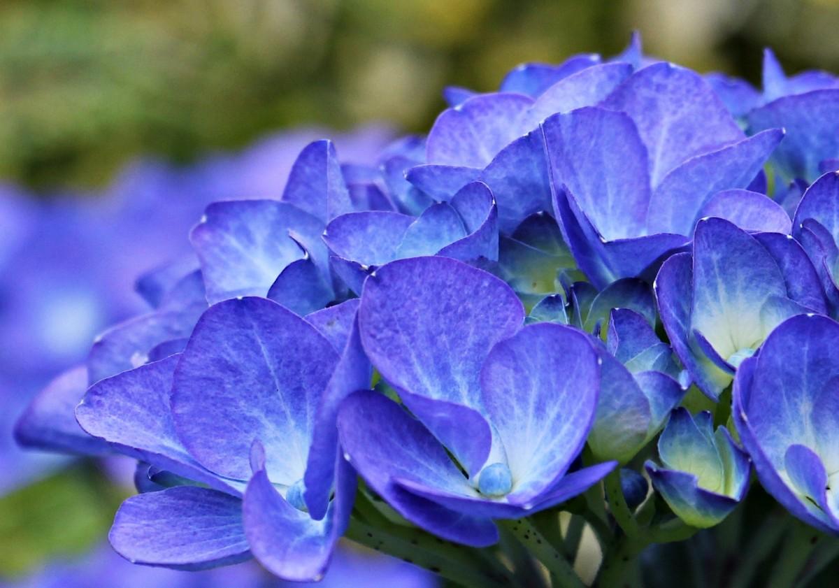 Plant Wallpaper Iphone รูปภาพ ธรรมชาติ ปลูก สีม่วง กลีบดอกไม้ สีน้ำเงิน
