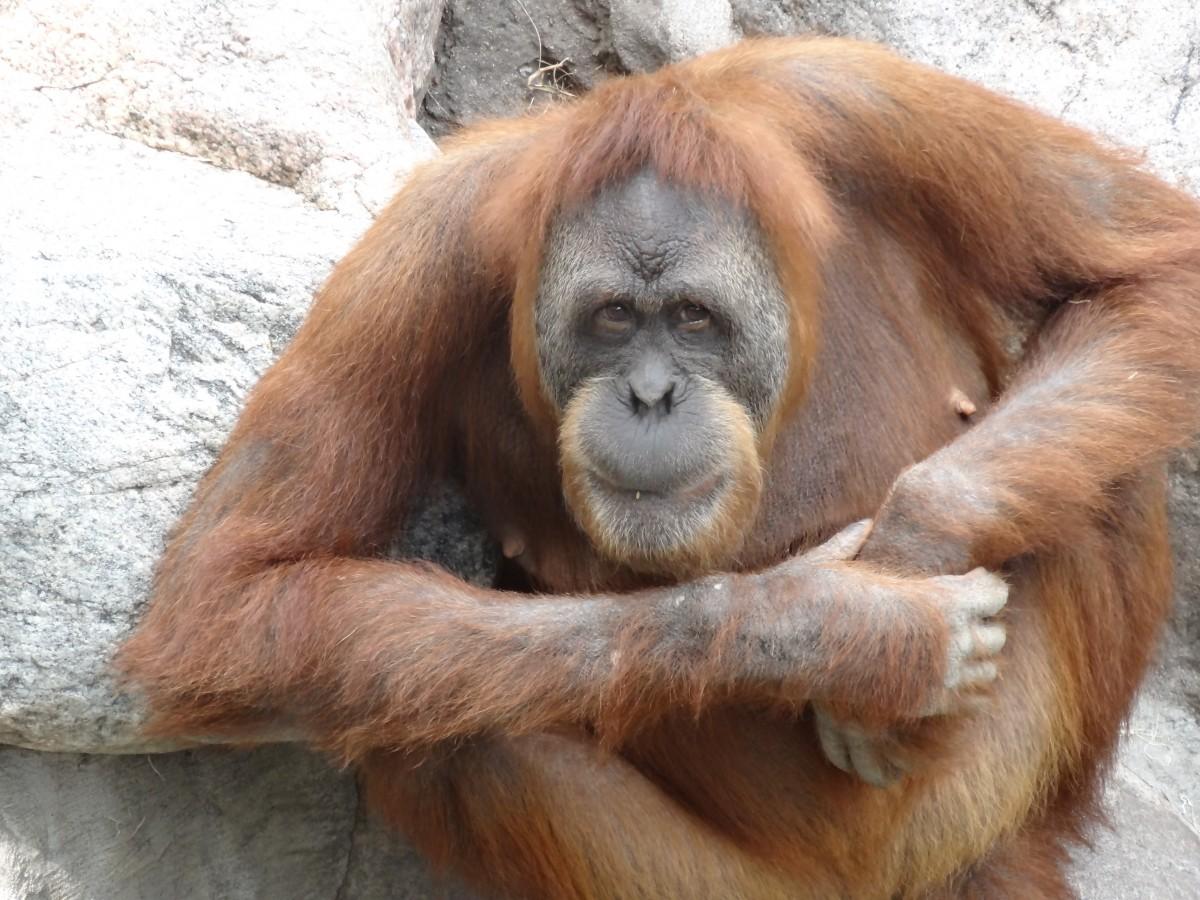Free Images Wildlife Mammal Fauna Primate Face Nose