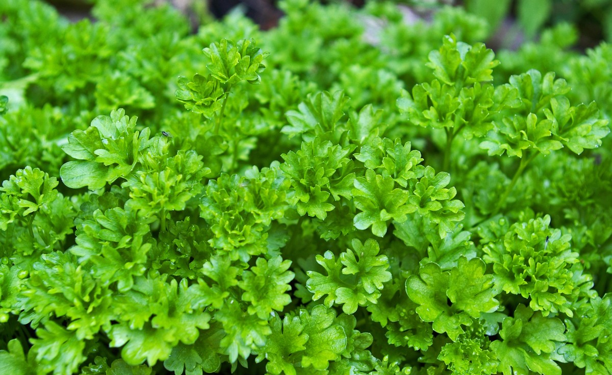 Free Images  flower food salad green spice produce