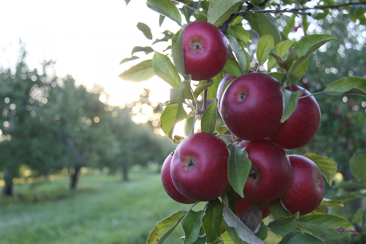 Free Fall Pictures Desktop Wallpaper Free Images Tree Nature Branch Farm Fruit Sunlight