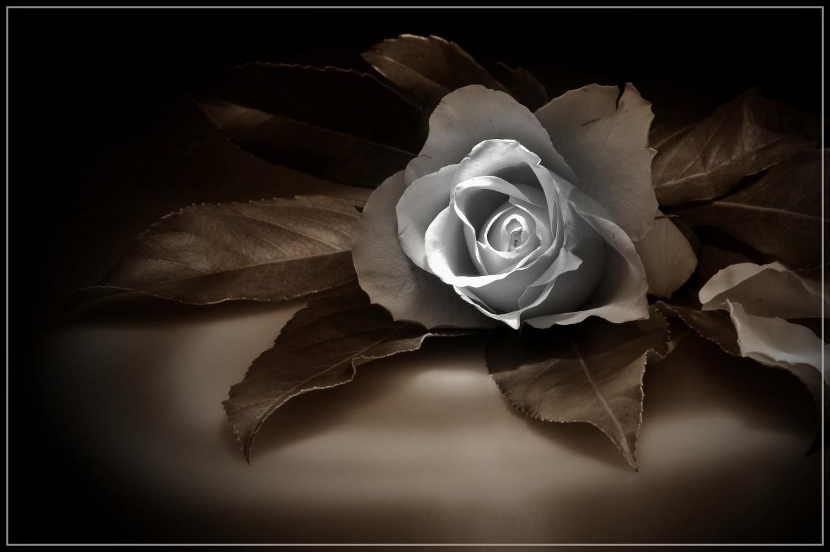 Gambar  hitam dan putih menanam daun bunga kegelapan