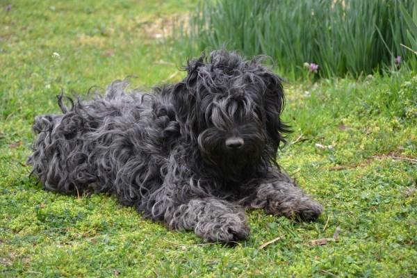 Puli Puppies Terrier Mix Imgurl