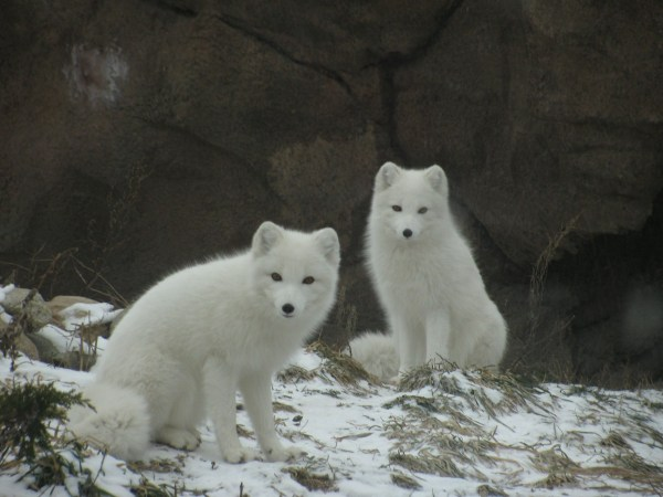 Free Snow Cold Winter Environment Fluffy Wolf Polar Bear Ecology Arctic Fox