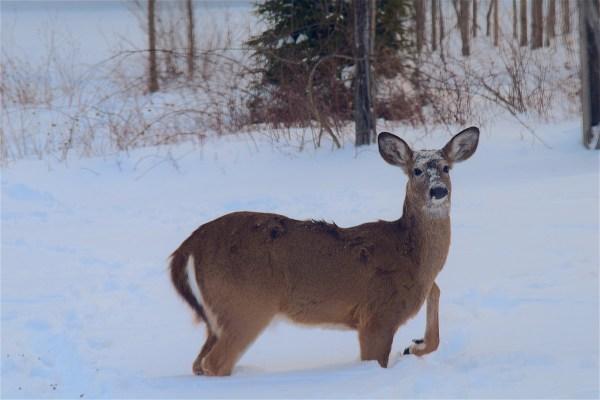 Free Snow Winter Animal Cute Wildlife Portrait Park Mammal Fauna Doe Snowfall