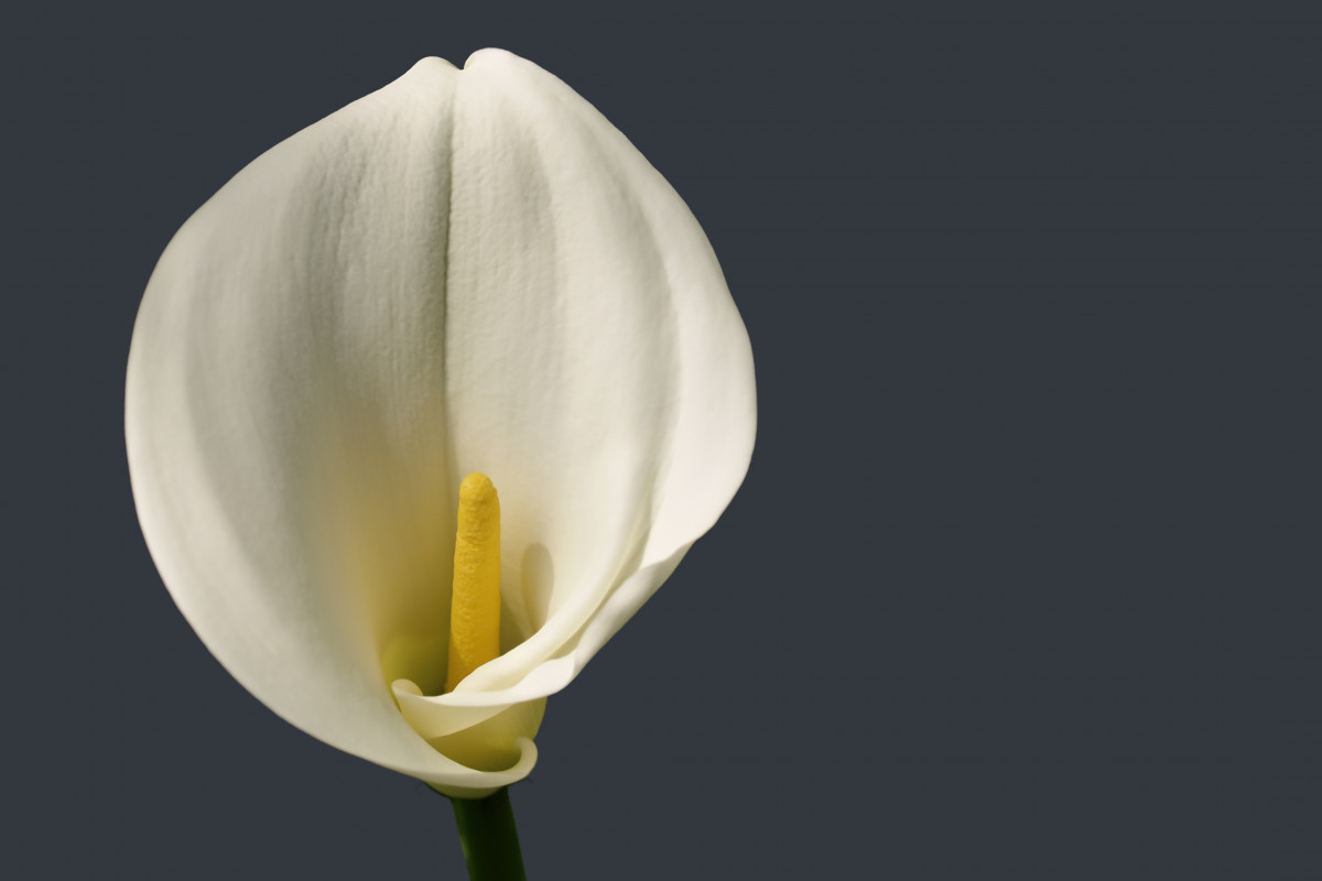 Single Flower Hd Wallpaper Fotos Gratis Blanco Flor P 233 Talo Tulip 225 N Primavera