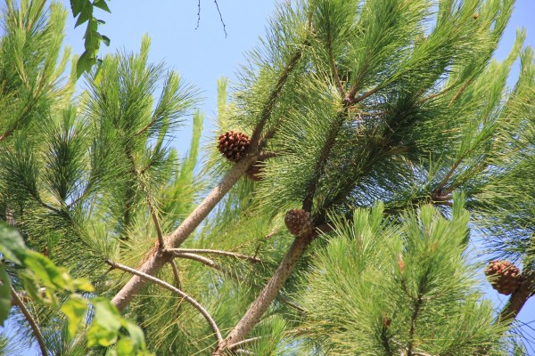 Nature Pine Tree Branches