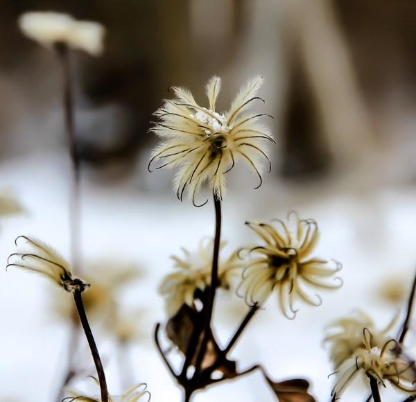 Crocus Flower in Snow