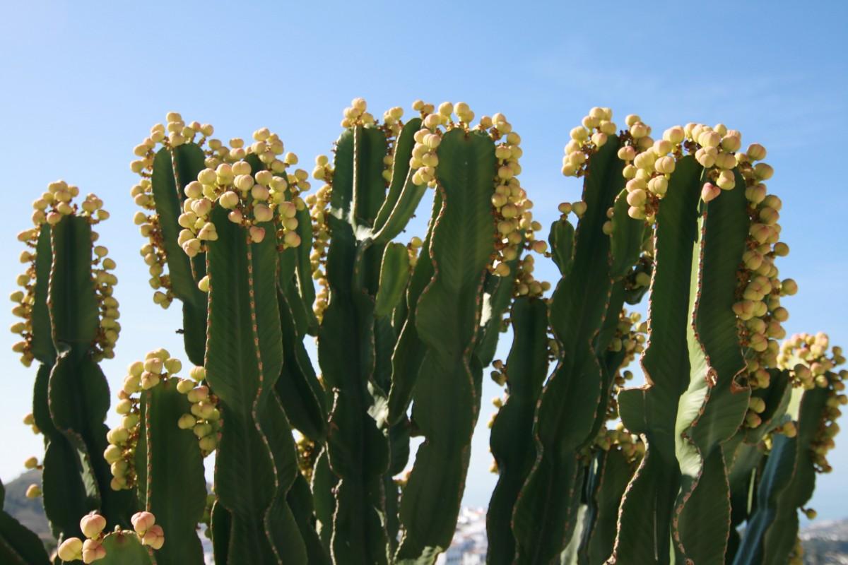 Images Gratuites  cactus fleur produire botanique jaune flore Fleur sauvage Croatie