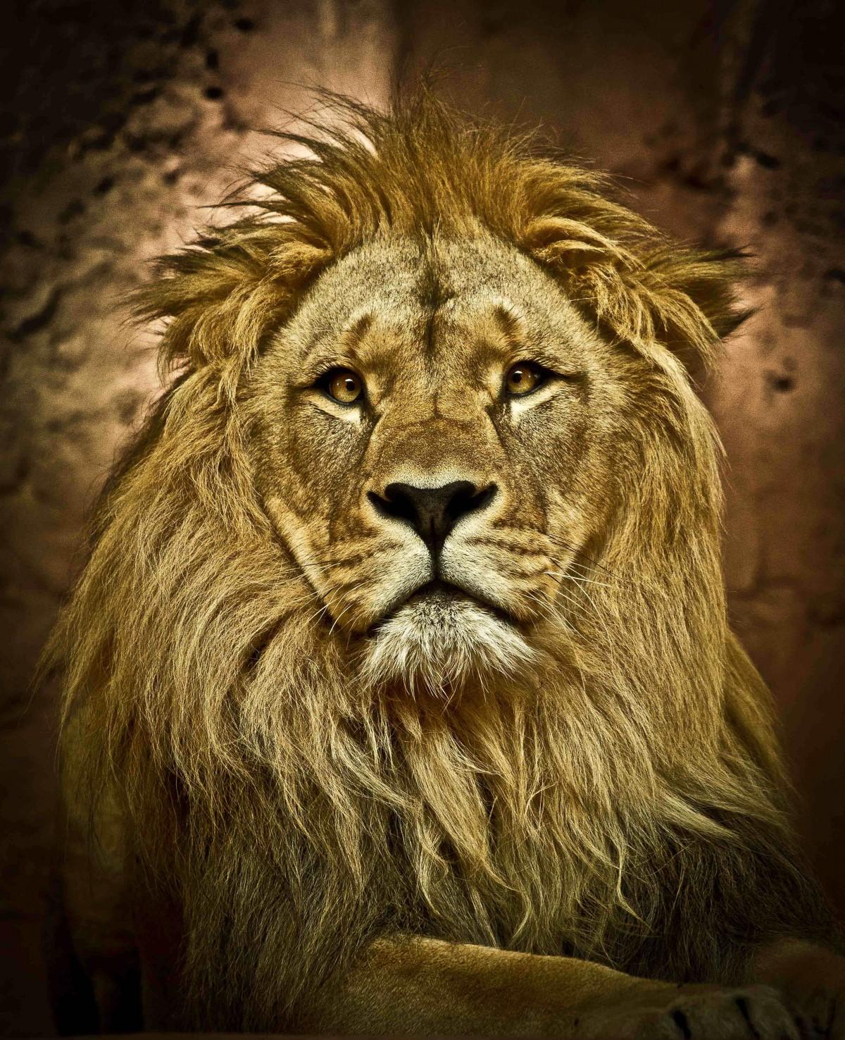 Lion Animal Wallpaper Images Gratuites Faune Zoo Afrique Crini 232 Re